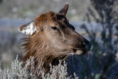 The Head Of An Elk. Stock Photo