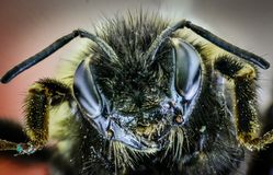 Free The Head Of The Bumblebee Is Macro With Large Eyes And Antennae. Stock Images - 127103054