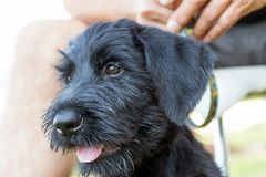The Head Of The Puppy Of Giant Black Schnauzer Dog Closeup Stock Photography