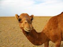 Free The Head Portrait Of Single Hump Dromedary Camel In Desert Stock Photo - 182287750