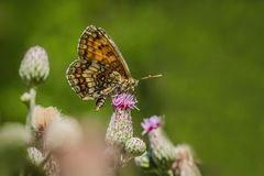 Free The Heath Fritillary, A Brown And Orange Butterfly Royalty Free Stock Image - 167790776