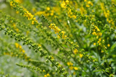 Free The Herbal Plant Common Agrimony Stock Image - 83242961