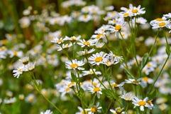 Free The Herbal Plant Mint Geranium Royalty Free Stock Photos - 83210588