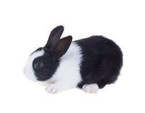 Free The Hollander Rabbit. Isolated On White Background Stock Image - 67160741