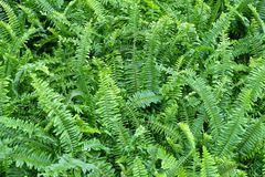 Free The Horizontal Of Tassle Ferns Textured Background Stock Photos - 84476503