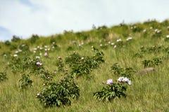Free The Hulunbuir Prairie Scenery.Wild Flowers. Stock Photography - 157040052
