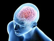 Free The Human Brain Stock Image - 137361541