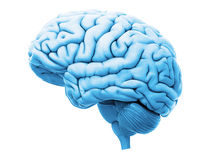 Free The Human Brain Stock Photo - 74189140