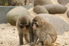 The Image Of Two Monkeys. Stock Photography
