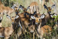 Free The Impala Royalty Free Stock Photos - 134010298