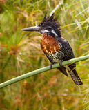 The Impressive Giant Kingfisher Royalty Free Stock Photo