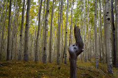 The Inner Basin Trail In Northern Arizona. Royalty Free Stock Images