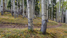 The Inner Basin Trail In Northern Arizona. Royalty Free Stock Photography