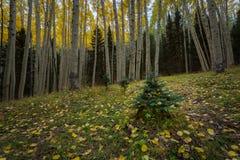 The Inner Basin Trail In Northern Arizona. Stock Photos