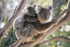 Free The Koala And Joey Are In A Tree Royalty Free Stock Photography - 180779617