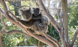Free The Koala And Joey Are In A Tree Royalty Free Stock Images - 181578879