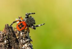 Free The Ladybird Spider Eresus Kollari In Defence Position Royalty Free Stock Photos - 139307138