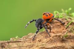 Free The Ladybird Spider Eresus Kollari In Defence Position Stock Photo - 140796360