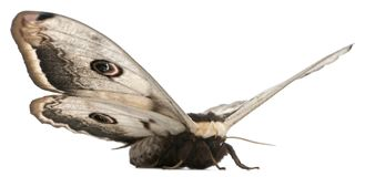 Free The Largest European Moth, The Giant Peacock Moth, Saturnia Pyri Royalty Free Stock Photography - 131673907