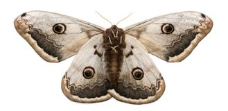 Free The Largest European Moth, The Giant Peacock Moth, Saturnia Pyri Royalty Free Stock Images - 131673929