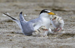 The Least Tern (Sternula Antillarum) In The Nest With Chicks. Royalty Free Stock Image