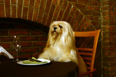 The Lhasa Apso In The Restaurant Royalty Free Stock Image