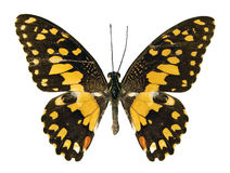 The Lime Butterfly Stock Photography