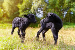The Little Black Baby Goats In The Meadow. Stock Images
