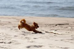Free The Little Poodle Plays By The Sea Royalty Free Stock Image - 216424846