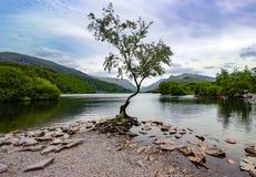 Free The Lonely Tree, Llyn Padarn Lake, Snowdonia, North Wales, June 2021 Stock Photo - 222564860