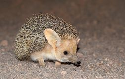 Free The Long-eared Hedgehog In Desert Royalty Free Stock Image - 159754126