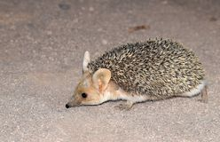 Free The Long-eared Hedgehog In Desert Royalty Free Stock Photos - 159754178