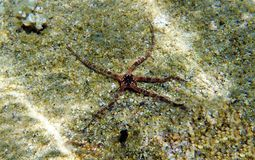 Free The Mediterranean Sea Brittle Starfish - Ophioderma Sp. Royalty Free Stock Photo - 152782225