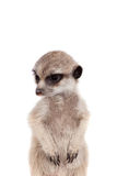The Meerkat Or Suricate Cub, 2 Month Old, On White Stock Photography