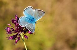 Free The Meleager`s Blue Butterfly Or Polyommatus Daphnis Royalty Free Stock Images - 157315549