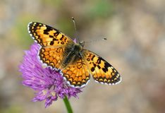 Free The Melitaea Turkmenica Butterfly Royalty Free Stock Photos - 157314928