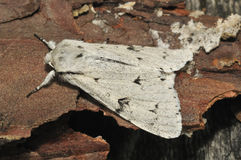 Free The Miller Moth Stock Photography - 20416682
