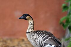 Free The Nene Branta Sandvicensis Or Sandwicensis, Also Known As Nēnē And Hawaiian Goose, Portrait Stock Image - 175284171