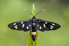 The Nine Spoted Moth Stock Images