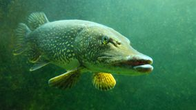 Free The Northern Pike - Esox Lucius Underwater. Royalty Free Stock Photos - 168566808