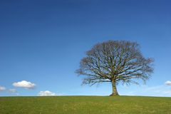 The Oak In Winter Royalty Free Stock Images