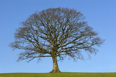The Oak In Winter Royalty Free Stock Image