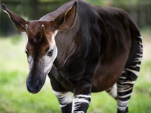 The Okapi Known As The Forest Giraffe Or Zebra Giraffe Royalty Free Stock Photography
