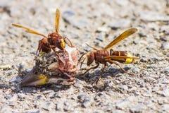 Free The Oriental Hornet Vespa Orientalis Royalty Free Stock Photography - 33014557