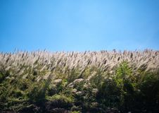 Free The Pampas Grass Was Blown By The Wind Over Blue Sky Background Royalty Free Stock Photo - 168377485