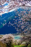 The Peach Blossoms Are In The Snow Mountain Royalty Free Stock Photography