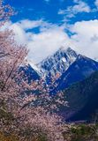 The Peach Blossoms Are In The Snow Mountain Stock Photography