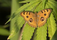 The Peacock Pansy Butterfly On Leaf Of Marijuana Royalty Free Stock Photography