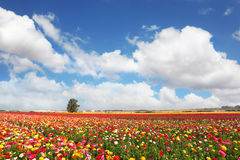Free The Peony Garden Ranunculus Grow In Kibbutz Stock Photo - 35385330