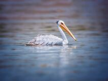 Free The Pink-backed Pelican Or Pelecanus Rufescens Is Floating In The Sea Lagoon In Africa, Senegal. It Is A Wildlife Photo Of Bird In Royalty Free Stock Image - 169802806